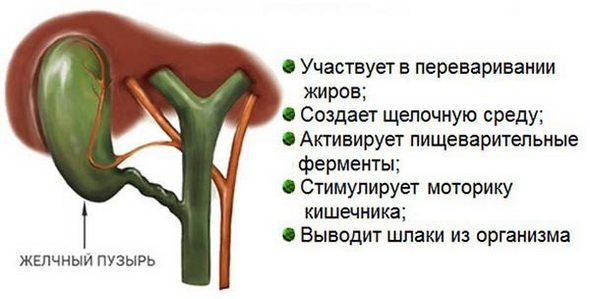 Функции желчного пузыря