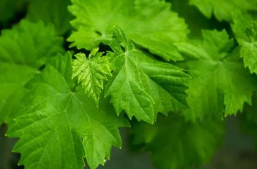 Листья винограда от почечного давления