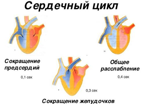 Фазы сокращения сердца
