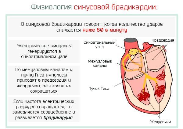 Физиология синусовой брадикрадии