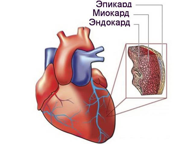 Строение стенки сердца