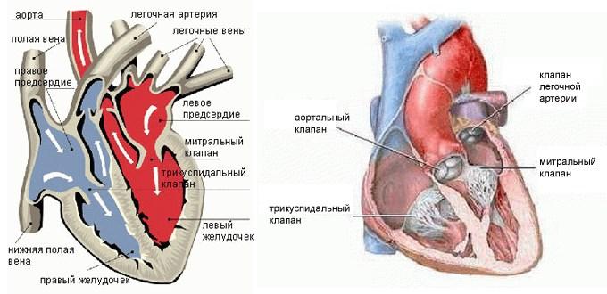 Сколько клапанов в сердце человека, их строение, функции, болезни