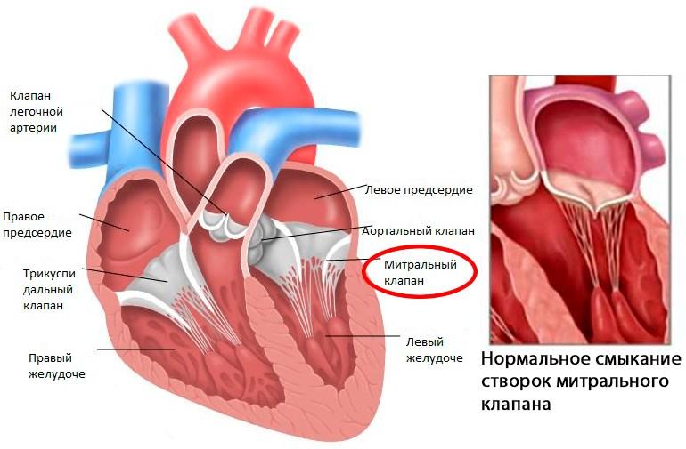 Митральный клапан сердца: где расположен, его функции